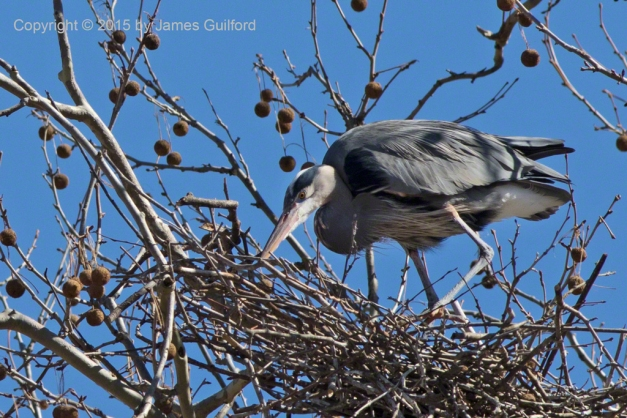 Photo: Great Blue Heron on stick nest. Photo by James Guilford.