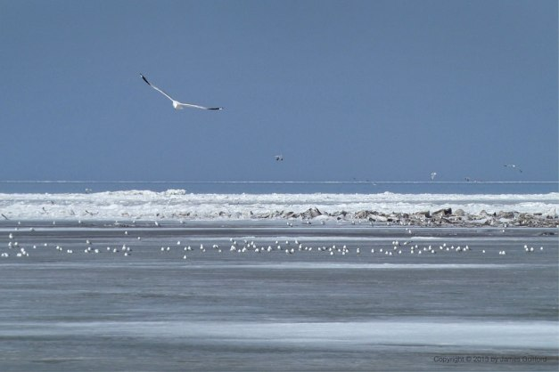 Photo: Gulls inhabit the ice and open waters of Lake Erie off Vermilion, Ohio. Photo by James Guilford.