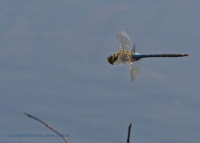 Photo: Dregonfly in flight. Photo by James Guilford.