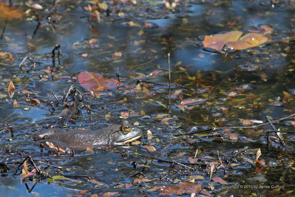 Photo: American Bullfrog - Lithobates catesbeianus. Photo by James Guilford
