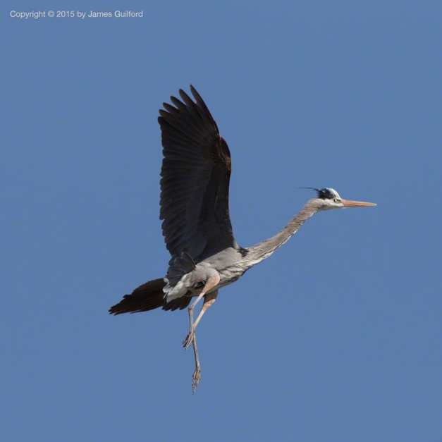 Photo: Great Blue Heron fills wings with air and floats to a gentle landing. Photo by James Guilford.