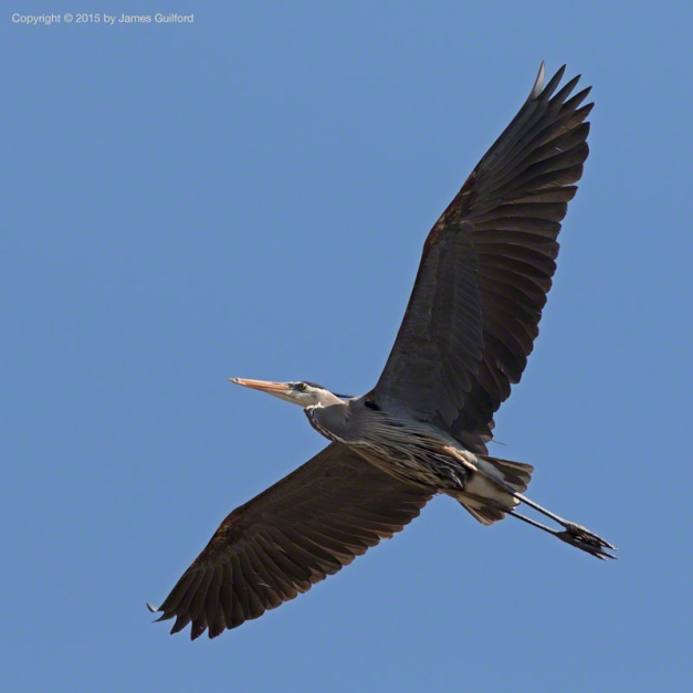 Photo: Great Blue Heron in flight. Photo by James Guilford.