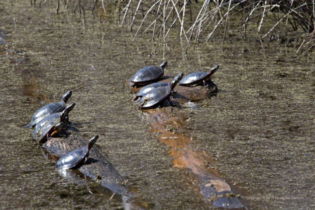 Photo: Group of turtles, sunning in spring weather. Photo by James Guilford.