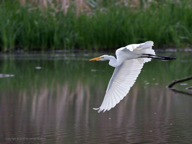 Photo: A Great Egret (Ardea alba) Takes Flight. Photo by James Guilford.