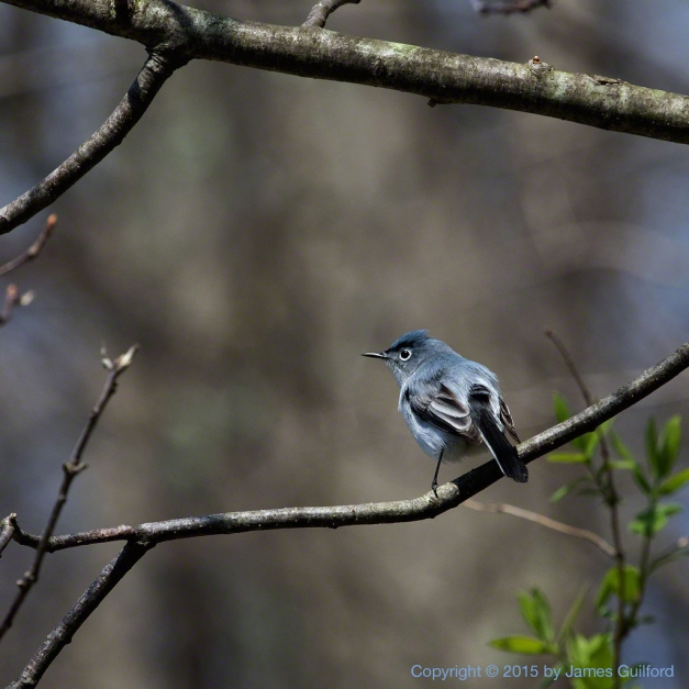 Photo: Blue-Gray Gnatcatcher. Photo by James Guilford.