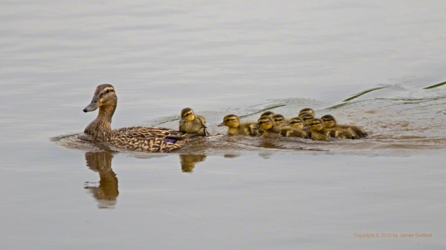 Photo: Female Mallard Duck with Her Offspring. Photo by James Guilford.