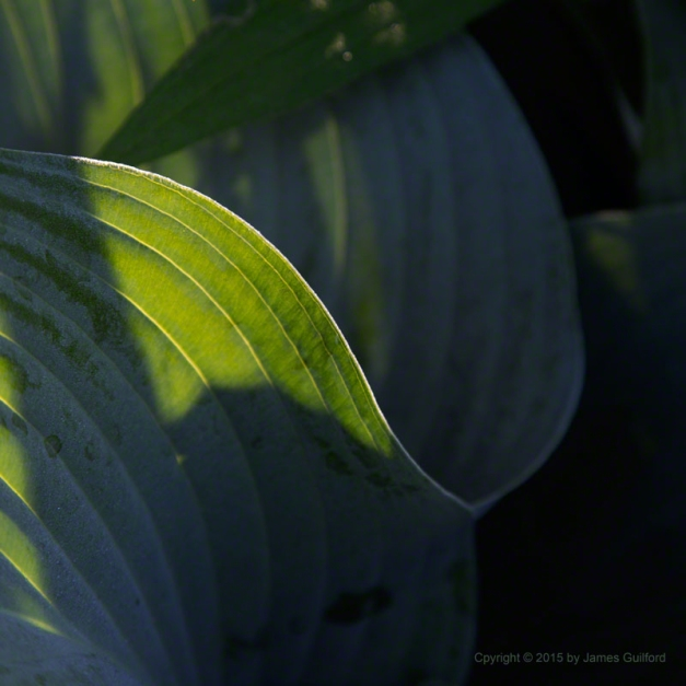 Photo: Plant leaves in sun and shadow. Photo by James Guilford.