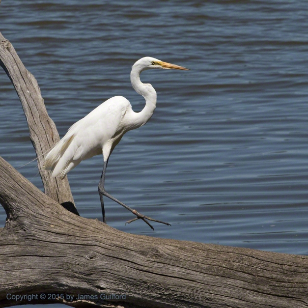 Photo: Great Egret walking on fallen tree trunk. Photo by James Guilford.