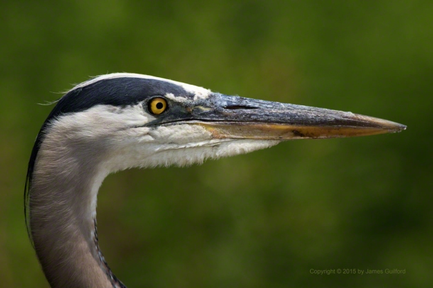 Photo: Close-up of a Great Blue Heron. Photo by James Guilford.