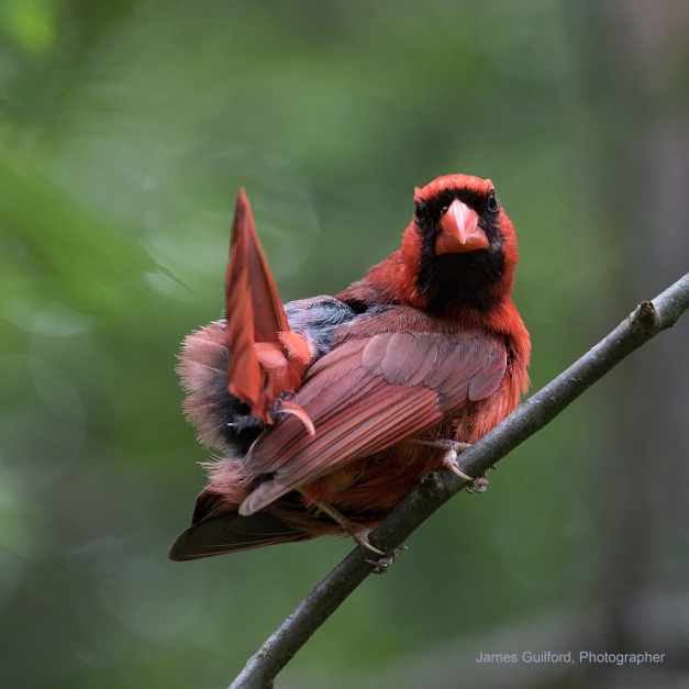 Photo: Juvenile Northern Cardinal. Photo by James Guilford.
