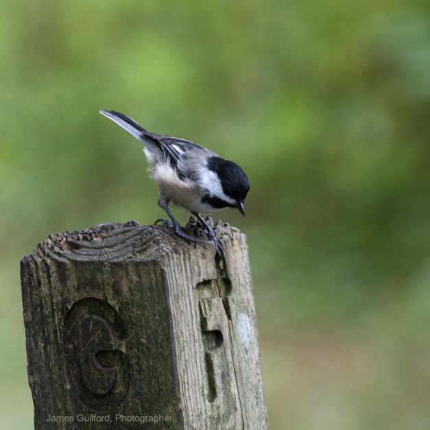 Photo: Black Capped Chickadee. Photo by James Guilford.