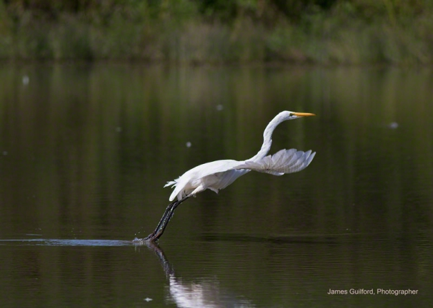 Photo: Great Egret (Ardea alba) Takes Flight. Photo by James Guilford.