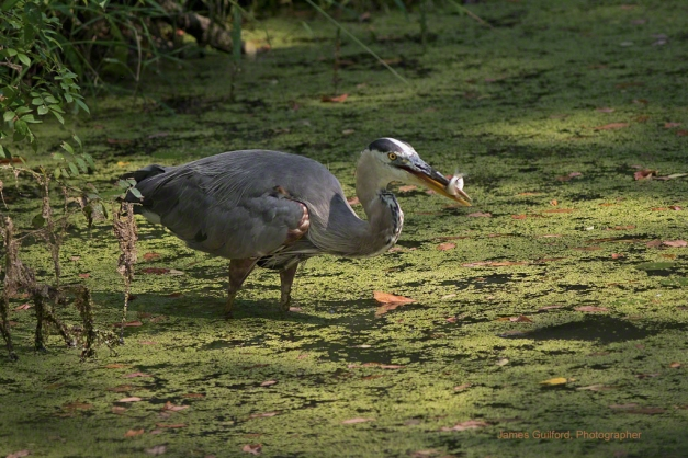 Photo:Great Blue Heron (Ardea herodias) with Fish. Photo by James Guilford.