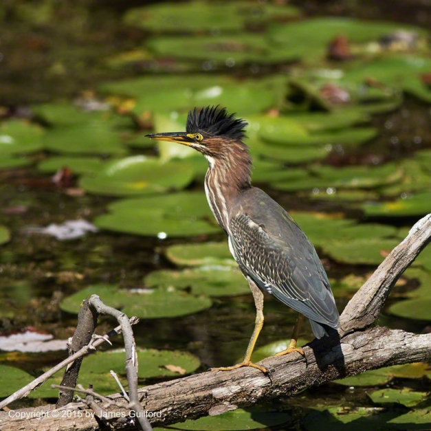 Photo: Green Heron (Butorides virescens) Excitedly Showing its Crest. Photo by James Guilford.