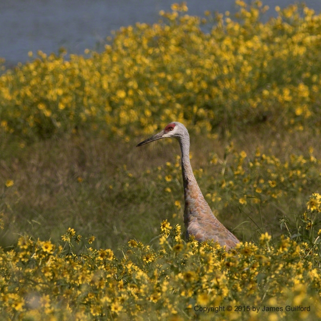 Photo: Sand Hill Crane (Grus canadensis) Watches from Amongst Yellow Blooms. Photo by James Guilford.