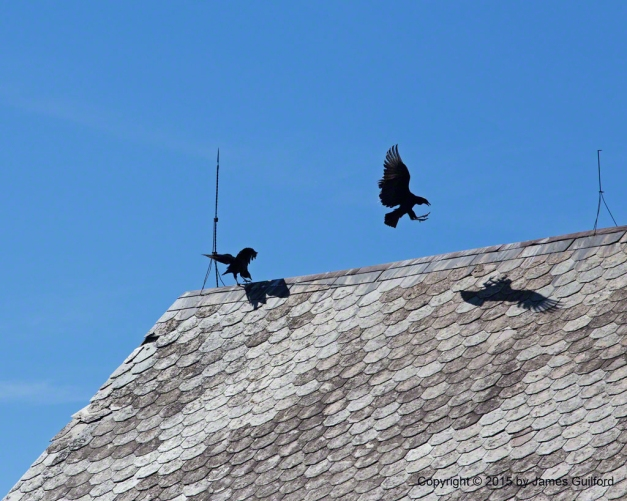 Photo: Jostling Black Vultures on Barn Roof. Photo by James Guilford.