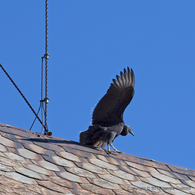 Photo: Black Vulture Balancing on Barn Roof. Photo by James Guilford.