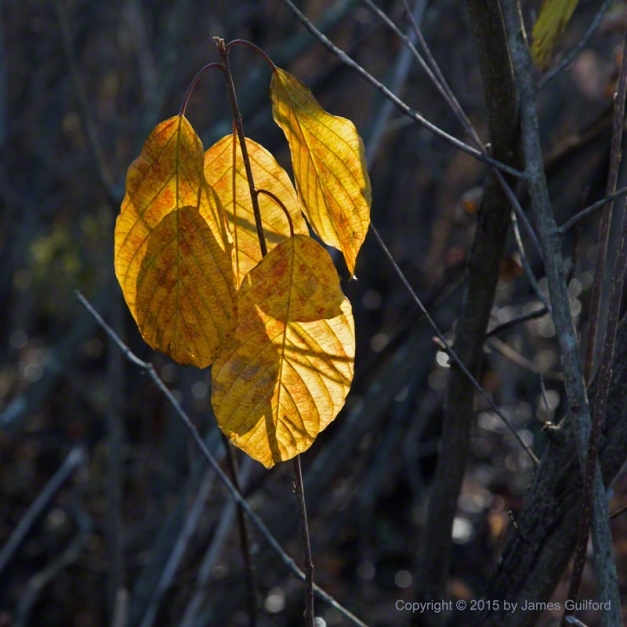 Photo: Yellow leaves illuminated by the last light of day. Photo by James Guilford.