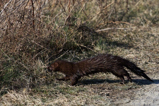 Photo: Mink heads into grass with fish. Photo by James Guilford.