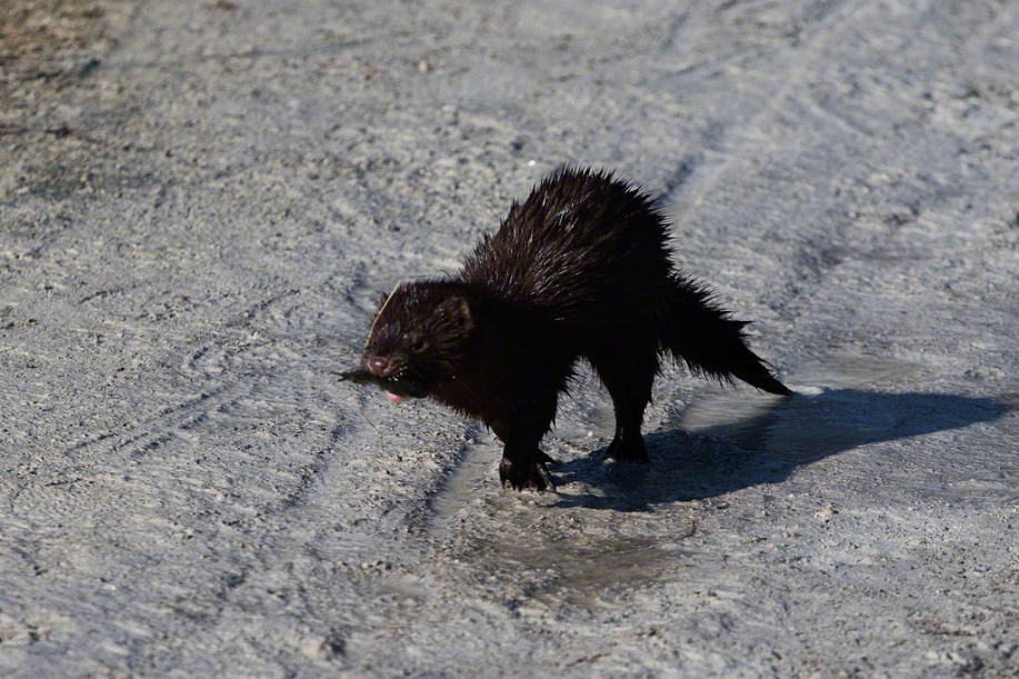 Photo: Mink running on earthen path. Photo by James Guilford.