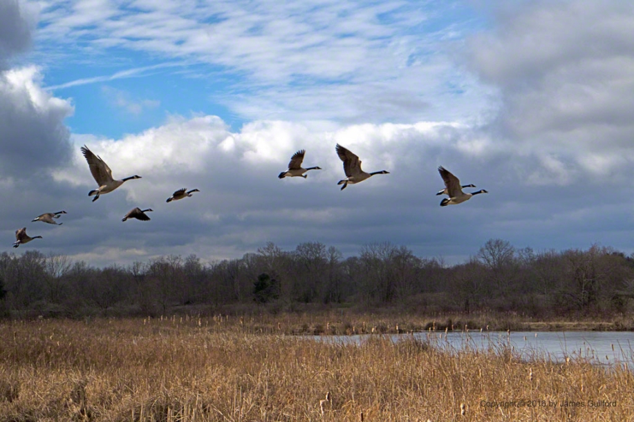 Photo: Spooked - Canada Geese Take Flight. Photo by James Guilford.