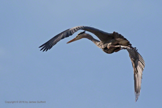 Photo:L Great Blue Heron turns in the Air. Photo by James Guilford.
