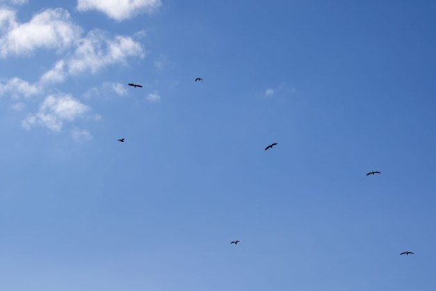 Photo: Great Blue Herons circling above their Nests. Photo by James Guilford.