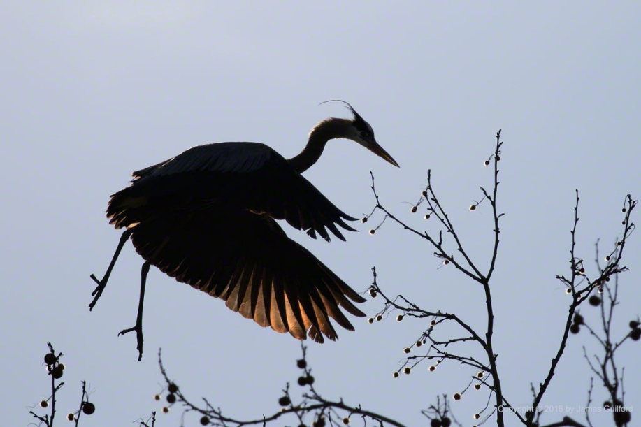 Photo: Sun lights the wing feathers of a Great Blue Heron seen in silhouette. Photo by James Guilford.