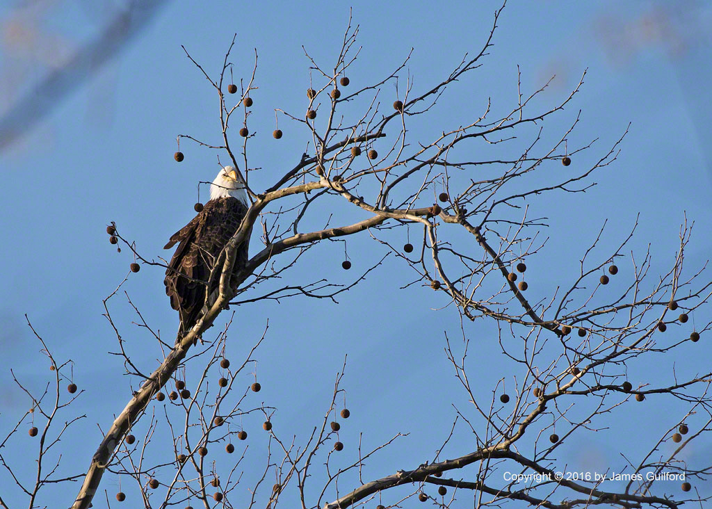 Photo: Young adult Bald Eagle watches for prey. Photo by James Guilford.