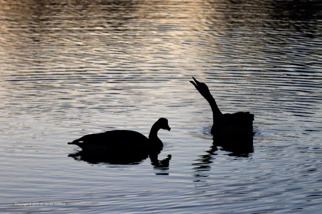 Photo: Canada Goose calls to others flying overhead as sunset lights the water. Photo by James Guilford.