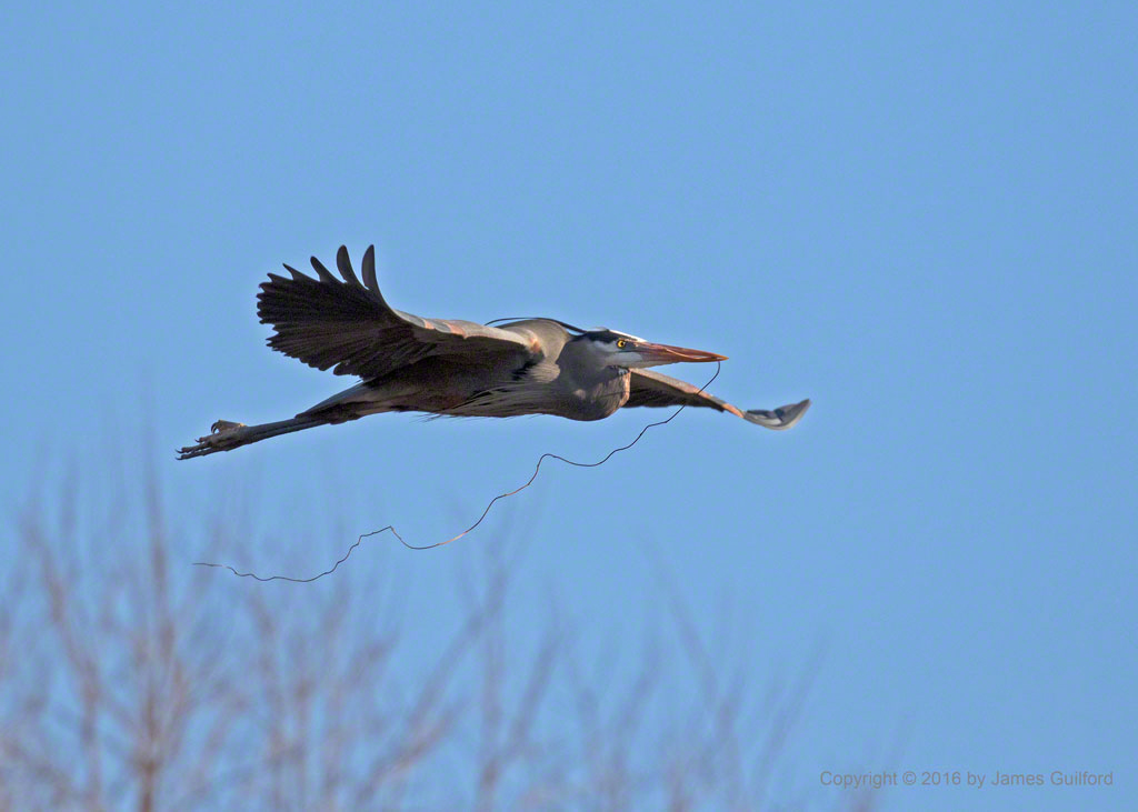 Photo: Great Blue Heron carries a section of vine for its nest. March 29, 2016. Photo by James Guilford.