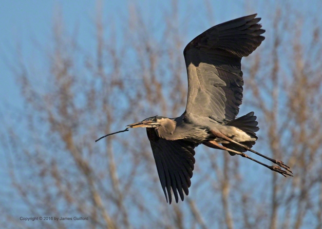 Photo: Great Blue Heron carries a twig for nest building. Photo by James Guilford.