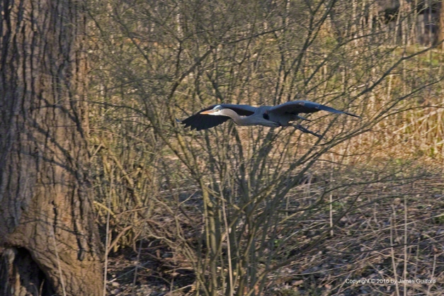Photo: Great Blue Heron glides to the ground to pick up nesting materials. Photo by James Guilford.