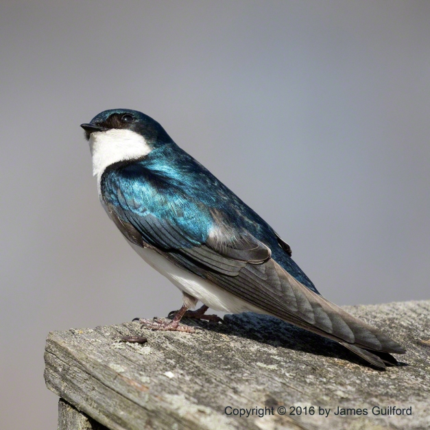 Photo: A Tree Swallow (Tachycineta bicolor) Perched Atop a Nest Box. Photo by James Guilford.