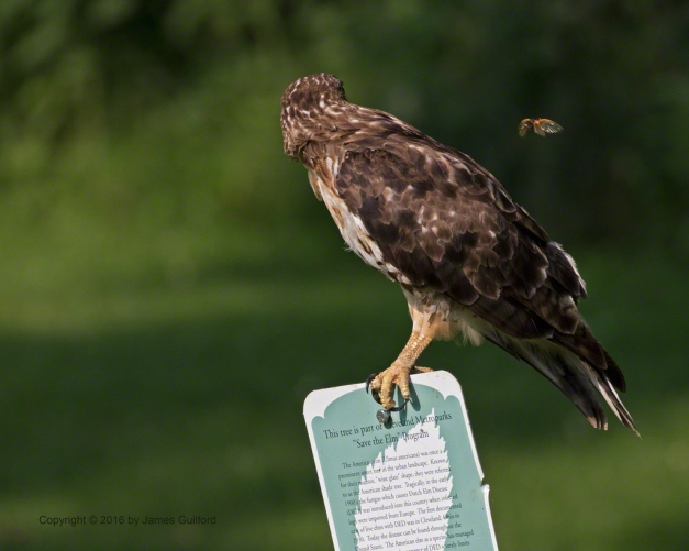 Photo: Hawk watching cicada insect fly by. Photo by James Guilford.