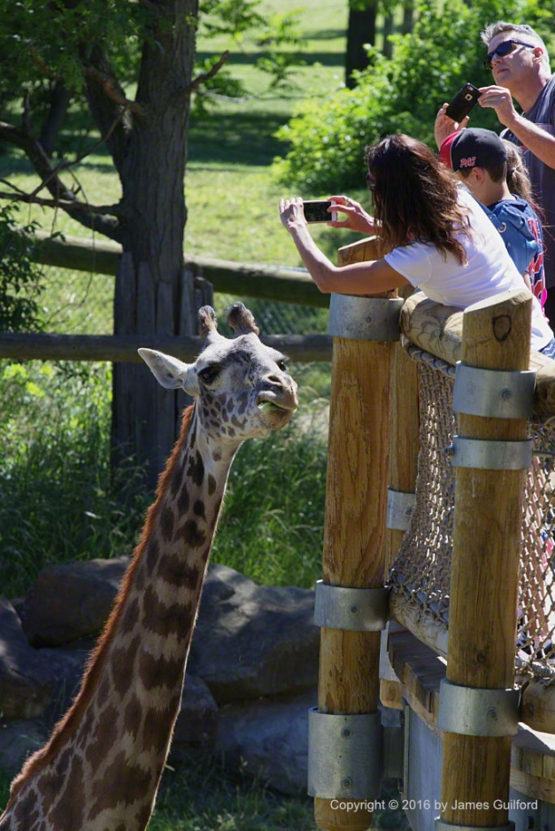 Photo: Giraffe being fed and photographed by zoo visitors. Photo by James Guilford.
