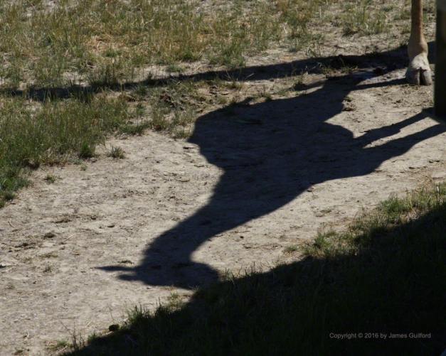 Photo: Shadow of giraffe feeding. Photo by James Guilford.