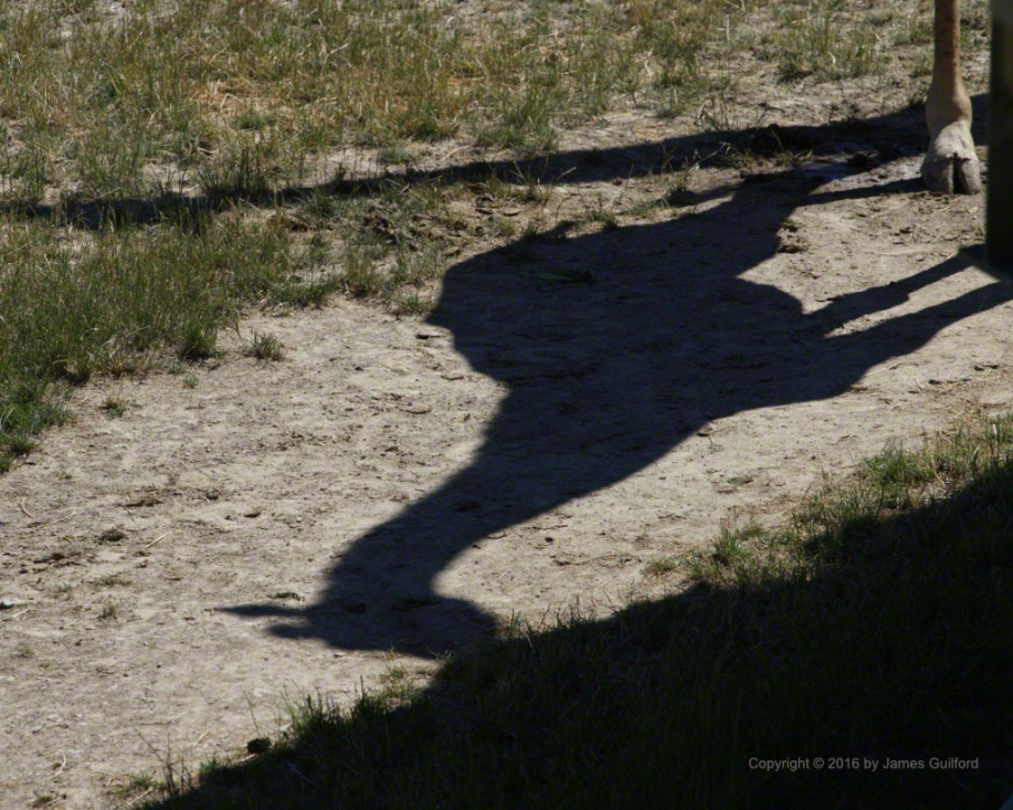Photo: Shadow of giraffe feeding. Photo by James Guilford.