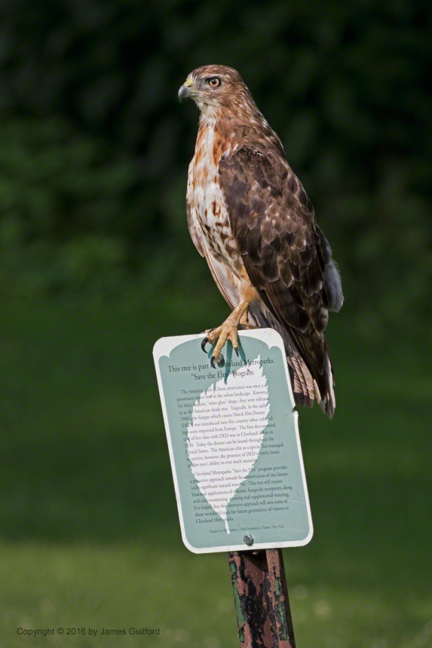 Photo: Hawk Perched upon Signpost. Photo by James Guilford.