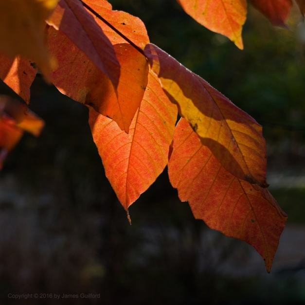 Photo: Afternoon sun backlights autumn leaves. Photo by James Guilford.