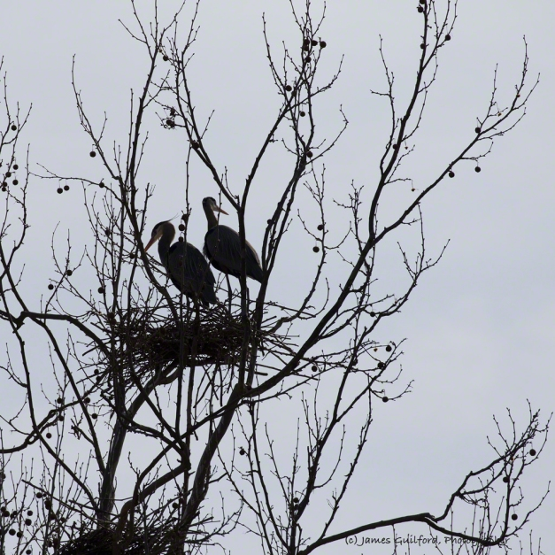Photo: Near-silhouette of a pair of Great Blue Herons high in a tree on their nest of sticks.