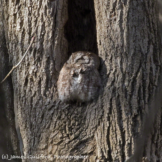 Photo: Screech Owl perched at the base of the opening to the hollow of a tree. Photo by James Guilford.