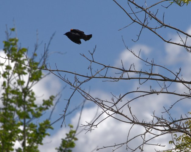 Photo: Too close! A male Red-Winged Blackbird rockets from one tree to another. Photo by James Guilford.