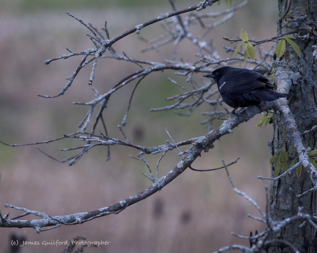 Watching from a small tree, a male Red-Winged Blackbird sits in shade. Photo by James Guilford.