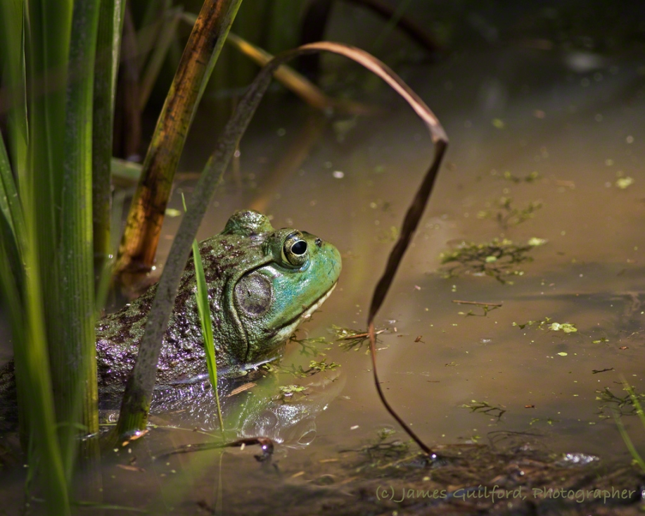 Photo: An American Bullfrog (Lithobates catesbeianus), waits. Photo by James Guilford.