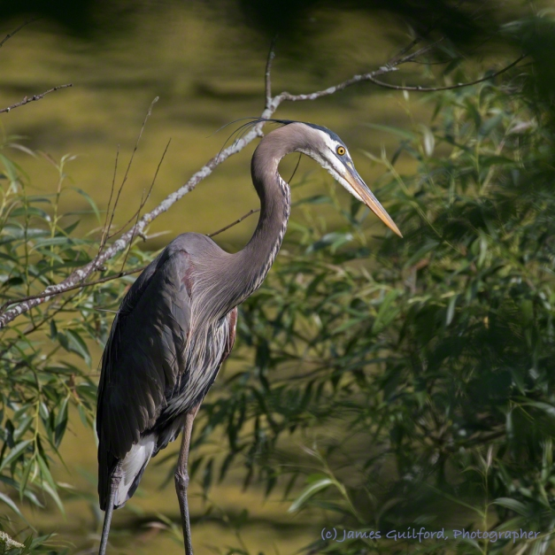 Photo: Morning Visitor - A Great Blue Heron above Our Pond. Photo by James Guilford.