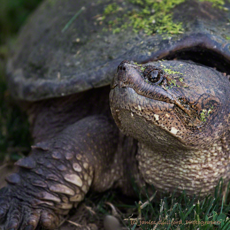 Photo: Snapping Turtle Close-Up