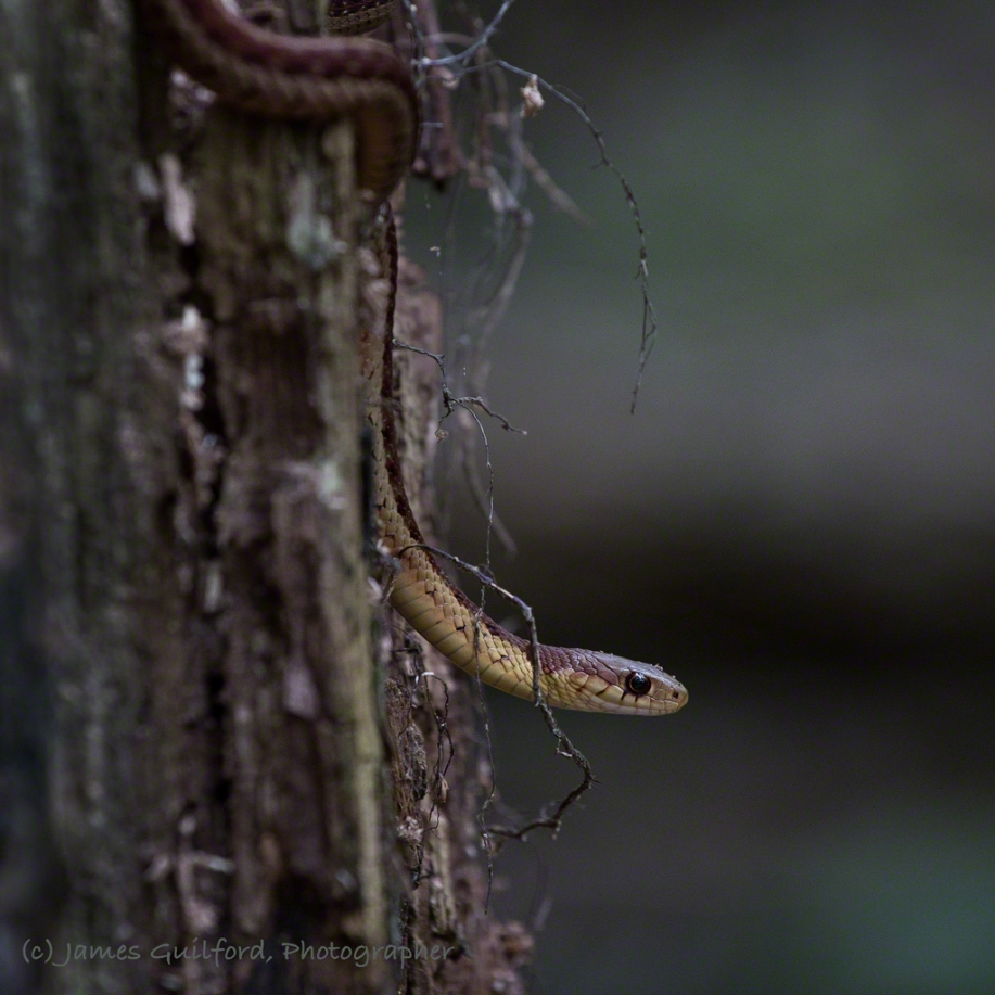 Photo: Hanging out (literally) on a tree is this Butler's Garter Snake (Thamnophis butleri). Photo by James Guilford.