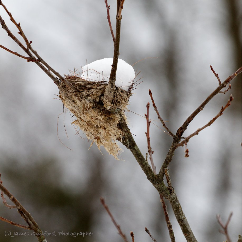 Photo: A snow-filled bird's nest. Photo by James Guilford.