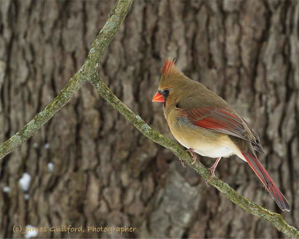 Photo: Female Northern Cardinal (Cardinalis cardinalis). Photo by James Guilford